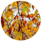 hojas de haya